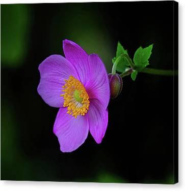 Anenome Purple Canvas Print