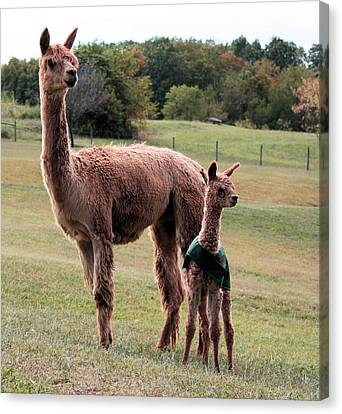 Alpaca And Cria Canvas Print