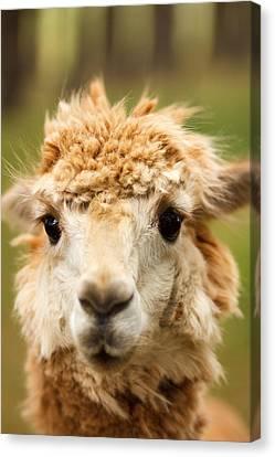 Alpaca Eyes Canvas Print by Shane Holsclaw