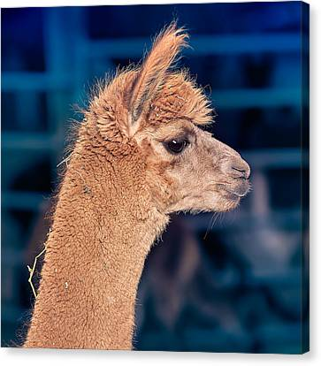Alpaca Wants To Meet You Canvas Print by TC Morgan