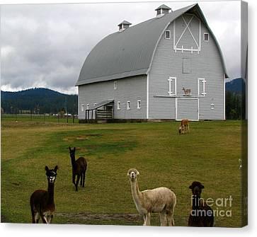 Alpacas Canvas Print by Greg Patzer