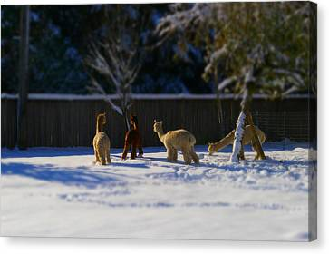 Alpacas In The Snow Canvas Print