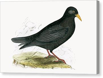 Alpine Chough Canvas Print by English School