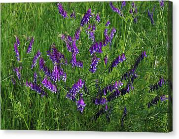 Canvas Print featuring the photograph Alpine Vetch by Robyn Stacey