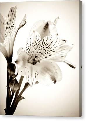 Alstromeria Lily Canvas Print by John Pagliuca