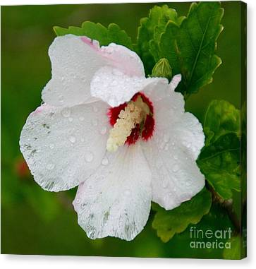 Althea After Rain Canvas Print by Angela Chesnutt