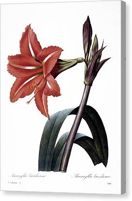 Amaryllis Canvas Print by Granger