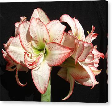 Canvas Print featuring the photograph Amaryllis Group by Frederic Kohli
