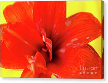 Amaryllis Jaune Red Amaryllis Flower On Bright Yellow Background Canvas Print by Andy Smy