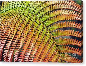 Amaumau Fern Frond Canvas Print by Greg Vaughn - Printscapes