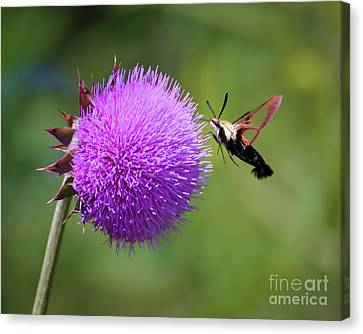 Canvas Print featuring the photograph Amazing Insects - Hummingbird Moth by Kerri Farley
