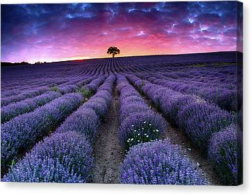 Amazing Lavender Field With A Tree Canvas Print by Evgeni Dinev