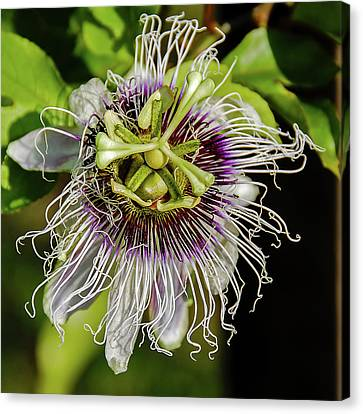 Amazon Passion Flower Canvas Print by Morris Finkelstein