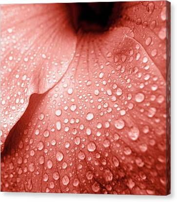 Hibiscus Canvas Print - Amber Droplets by Sean Davey