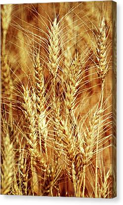 Amber Waves Of Grain 1 Canvas Print by Marty Koch