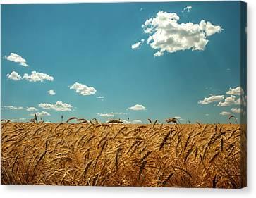 Amber Waves Of Grain Canvas Print by Todd Klassy