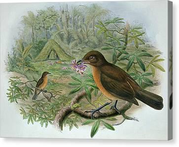 Amblyornis Inornatus Canvas Print by John Gould