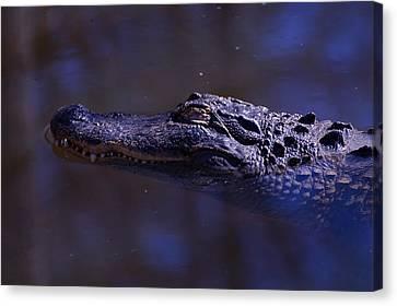 American Alligator Sleeping Canvas Print by Chris Flees