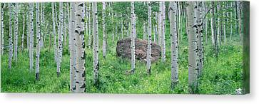 White River Scene Canvas Print - American Aspen Trees In The Forest by Panoramic Images