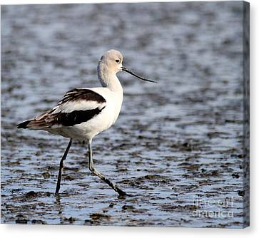 American Avocet . 7d4836 Canvas Print by Wingsdomain Art and Photography