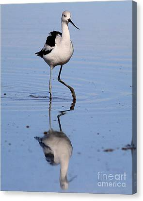 Bif Canvas Print - American Avocet . 7d4844 by Wingsdomain Art and Photography