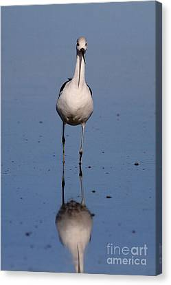 Bif Canvas Print - American Avocet . 7d4850 by Wingsdomain Art and Photography