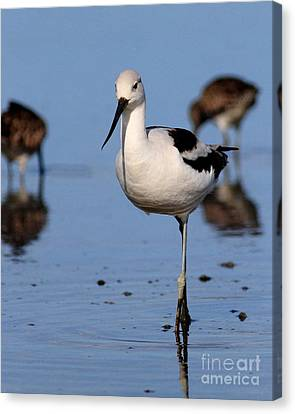 Bif Canvas Print - American Avocet . 7d4869 by Wingsdomain Art and Photography