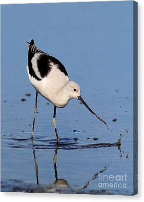 American Avocet . 7d4873 Canvas Print by Wingsdomain Art and Photography