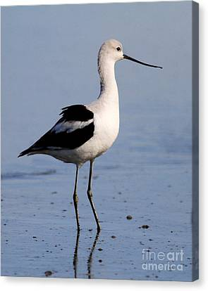 Bif Canvas Print - American Avocet . 7d4893 by Wingsdomain Art and Photography