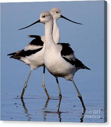 American Avocet Ballet . 7d4855 . Square Canvas Print by Wingsdomain Art and Photography