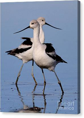 American Avocet Ballet . 7d4855 Canvas Print by Wingsdomain Art and Photography