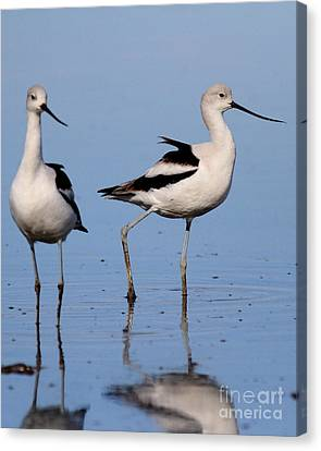 American Avocet Ballet . 7d4857 Canvas Print by Wingsdomain Art and Photography