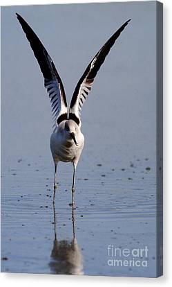 American Avocet Eagle Pose Canvas Print by Wingsdomain Art and Photography