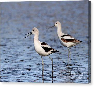 Bif Canvas Print - American Avocets . 4815 by Wingsdomain Art and Photography