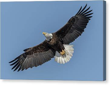Canvas Print featuring the photograph American Bald Eagle 2017-18 by Thomas Young
