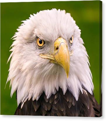 American Bald Eagle  Canvas Print by Jim Hughes