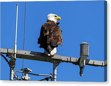 American Bald Eagle On Communication Tower Canvas Print by David Gn