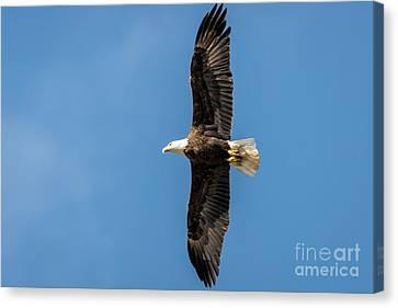 American Bald Eagle Canvas Print by Patrick Shupert
