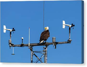 American Bald Eagle Perched On Communication Tower Canvas Print by David Gn