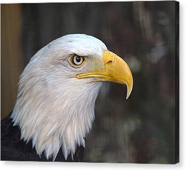 American Bald Eagle Canvas Print by Peter Gray
