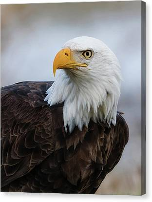 Canvas Print featuring the photograph American Bald Eagle Portrait by Angie Vogel