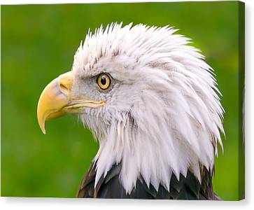 American Bald Eagle Profile Canvas Print by Jim Hughes