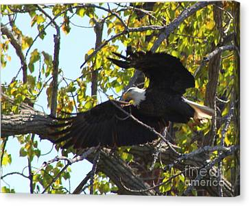 American Bald Eagle Starting Flight    Canvas Print by Neal Eslinger