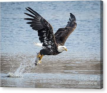 American Bald Eagle Taking Off Canvas Print by Ricky L Jones