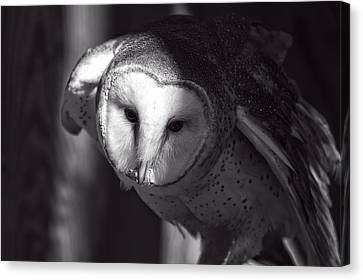 American Barn Owl Monochrome Canvas Print by Chris Flees