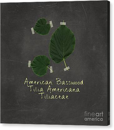 American Basswood Leaves Canvas Print