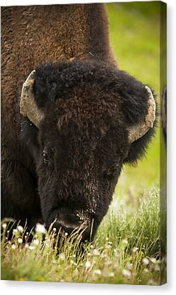 American Bison Canvas Print by Chad Davis