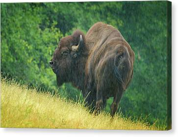 American Bison Canvas Print