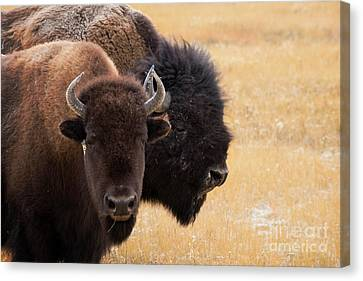 American Bison Canvas Print by Juli Scalzi