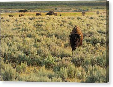 Bison Canvas Print - American Bison by Sebastian Musial